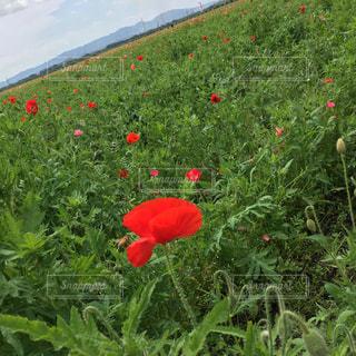 大輪の赤い花は緑豊かな緑のフィールドに立っています。の写真・画像素材[1159587]