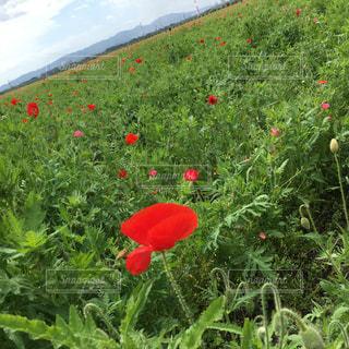 フィールドに赤い花の写真・画像素材[1160542]