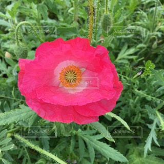植物にピンクの花の写真・画像素材[1160621]