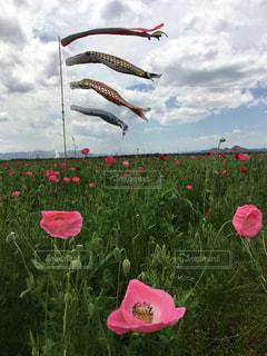凧の飛行のフィールドにピンクの花のグループの写真・画像素材[1160633]