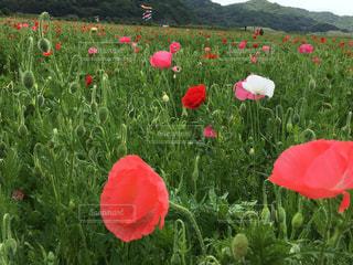 フィールドに赤い花の写真・画像素材[1160634]