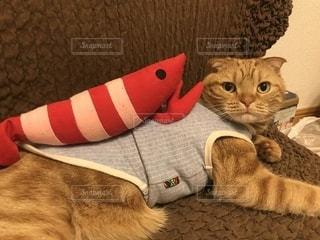 猫 ソファで横になるエビ猫寿司一丁上がりの写真・画像素材[1143844]