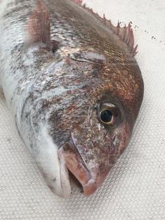真鯛の写真・画像素材[1334577]