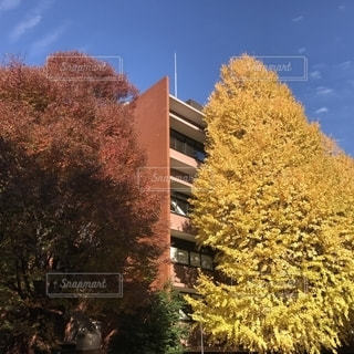 東京大学 銀杏の写真・画像素材[1375586]