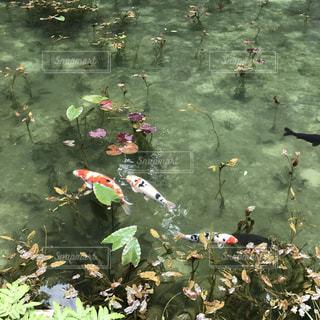 モネの池の写真・画像素材[1453563]