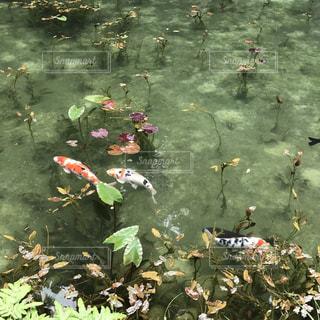 モネの池の写真・画像素材[1453564]