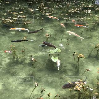 モネの池の写真・画像素材[1453565]