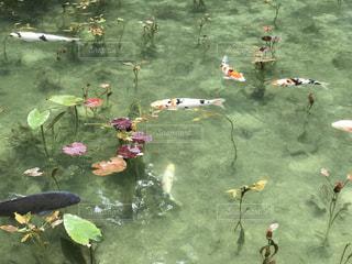 モネの池の写真・画像素材[1453588]