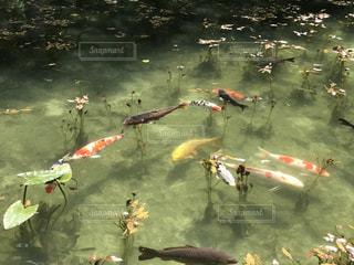 モネの池の写真・画像素材[1453600]