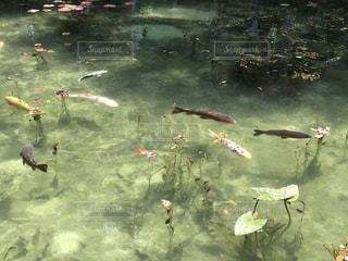 モネの池の写真・画像素材[1453602]