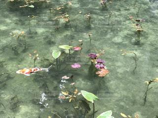 モネの池の写真・画像素材[1453603]