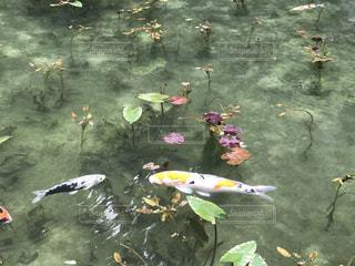 モネの池の写真・画像素材[1453604]