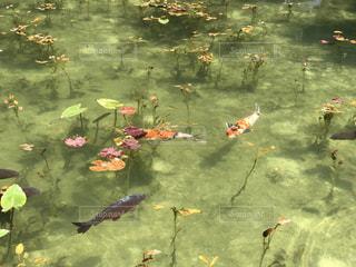 モネの池の写真・画像素材[1453617]