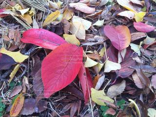 落ち葉の写真・画像素材[1789466]