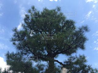 松の写真・画像素材[2000333]