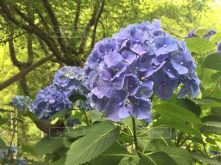 紫陽花の写真・画像素材[2118943]