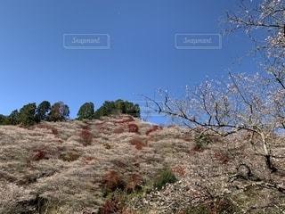 四季桜 小原の写真・画像素材[2774755]