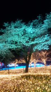 今年最後の桜の写真・画像素材[1104169]