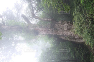 縄文杉の写真・画像素材[1105722]