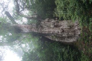 縄文杉のアップの写真・画像素材[1105723]