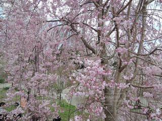 桜の写真・画像素材[1108170]