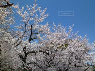 青空をバックに桜満開の写真・画像素材[1110468]