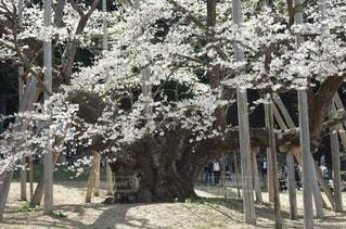 淡墨桜の写真・画像素材[1111672]