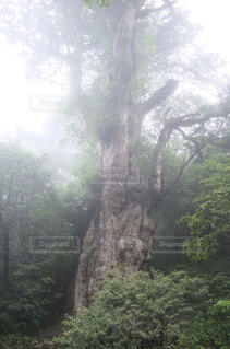縄文杉の写真・画像素材[1112279]