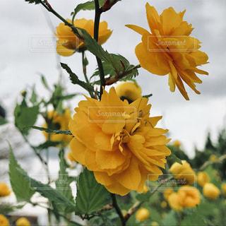 黄色い花の写真・画像素材[1113661]