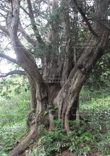 岐阜県高山市の巨木 平湯大ネズコの写真・画像素材[1118166]