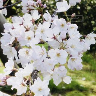 東山植物園の桜の写真・画像素材[1124374]