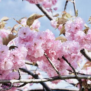 戸田川緑地の桜の写真・画像素材[1124379]