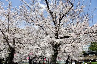 鶴舞公園の桜の写真・画像素材[1135775]