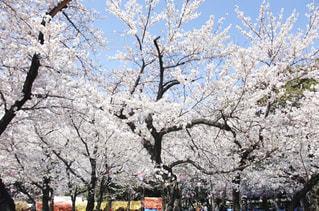 鶴舞公園の桜の写真・画像素材[1135776]