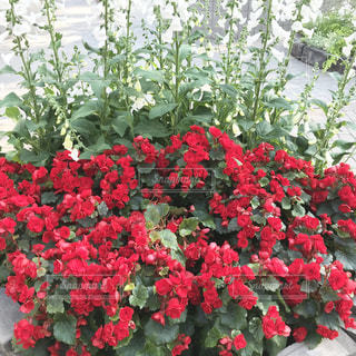 安城市デンパークの花の写真・画像素材[1139919]