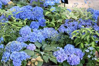 愛知県安城市デンパークの花の写真・画像素材[1139923]