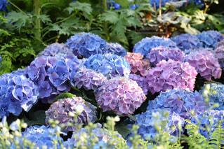 愛知県安城市デンパークの花の写真・画像素材[1139925]