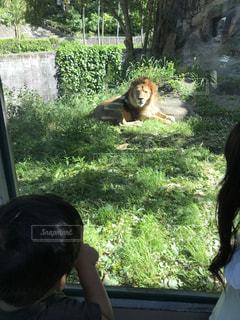 動物園のライオンの写真・画像素材[1196388]