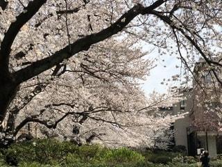 桜並木の写真・画像素材[1104274]