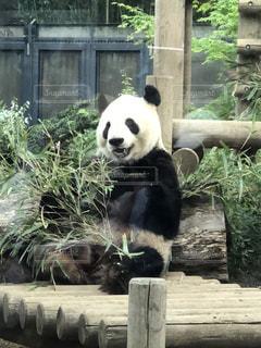 パンダの写真・画像素材[1124840]