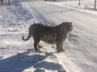 人に懐いて太りすぎた虎、、の写真・画像素材[1104430]