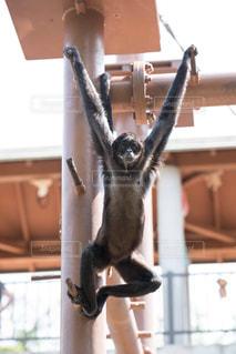 手を広げた手長猿の写真・画像素材[1227878]