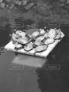 亀の家族の写真・画像素材[1153769]