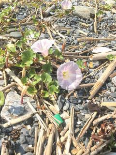 岩場に咲く花の写真・画像素材[1157698]