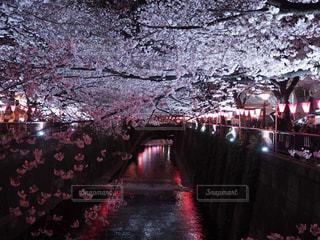 夜桜の写真・画像素材[1115933]