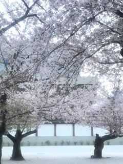 日暮れの桜の写真・画像素材[1184830]