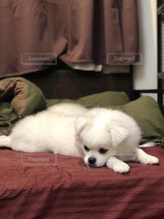 ベッドでくつろぐ犬の写真・画像素材[1689057]