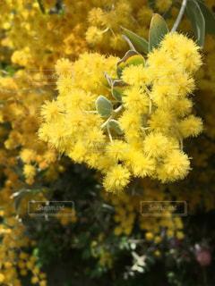 黄色の花の写真・画像素材[1105623]