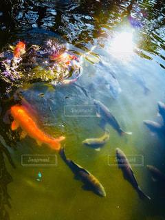 池の鯉の写真・画像素材[1110224]