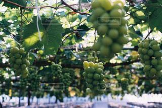 ぶどう農園の写真・画像素材[1146785]